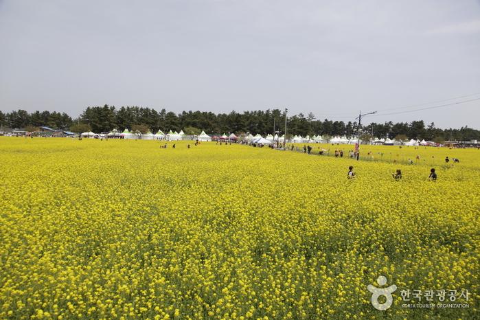 삼척 맹방유채꽃 마을