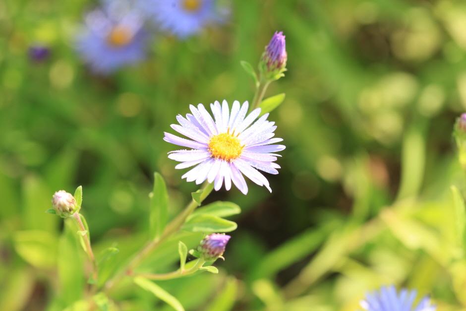 晨靜樹木園菊花展示會(아침고요수목원 국화전시회)