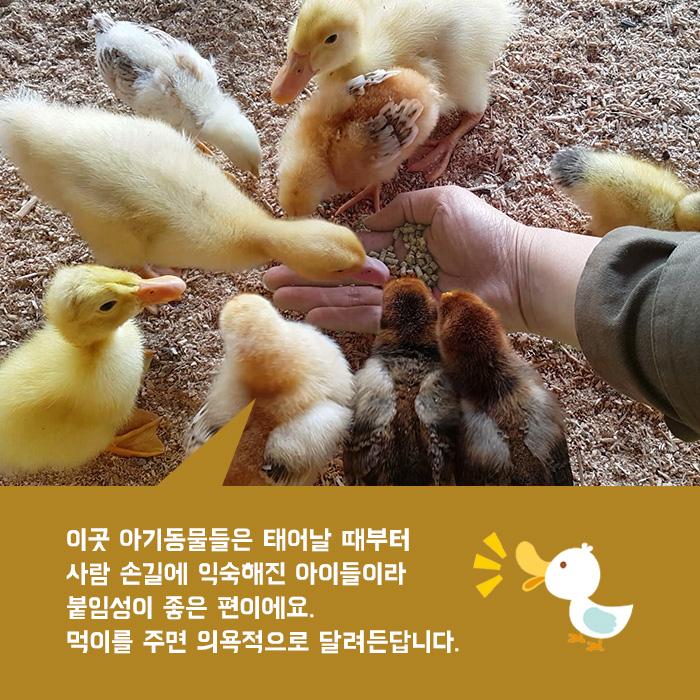 이곳 아기동물들은 태어날 때부터 사람 손길에 익숙해진 아이들이라 붙임성이 좋은 편이에요. 먹이를 주면 의욕적으로 달려든답니다.