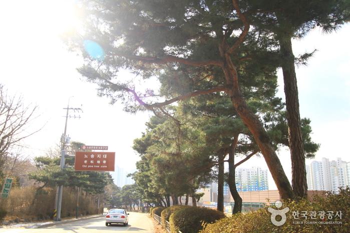 노송지대(수원)