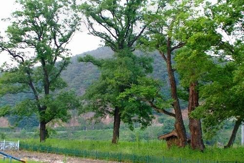 안동 송사동 소태나무