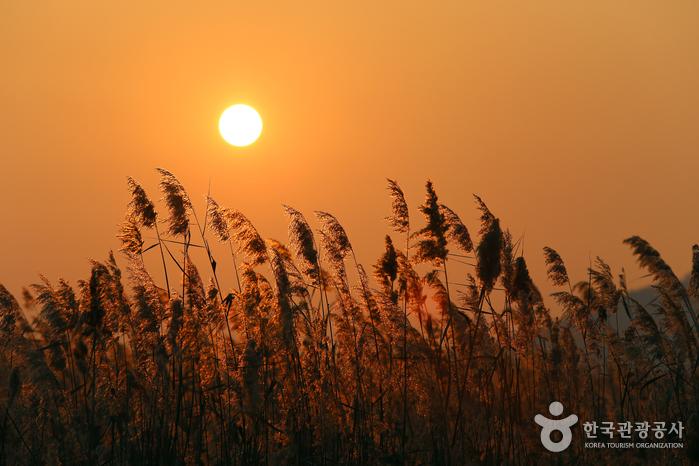 늦가을과 초겨울 사이 갈대밭이 그립다면, 시화호 우음도 사진