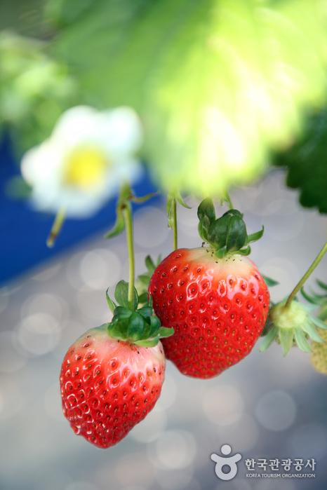 봄이 성큼 느껴지는 딸기