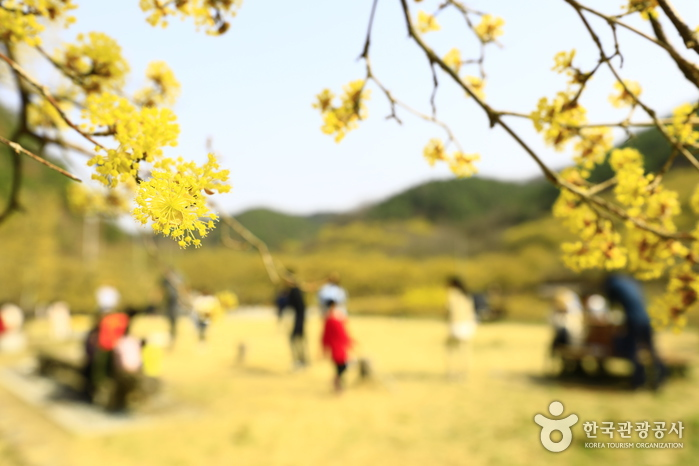 산수유는 3월부터 노란 꽃을 피운다.