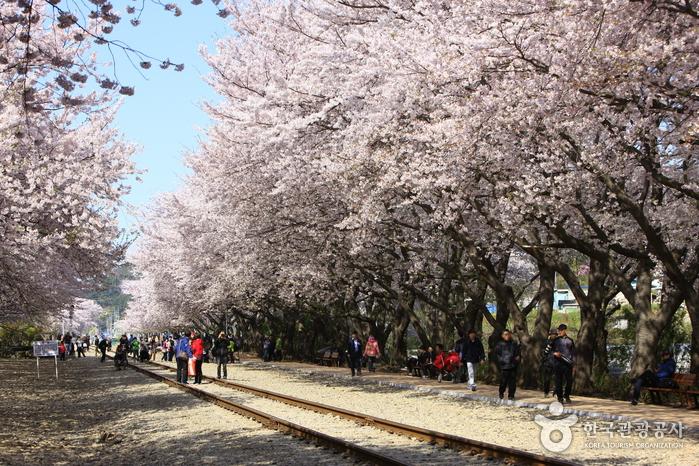 경화역 벚꽃길