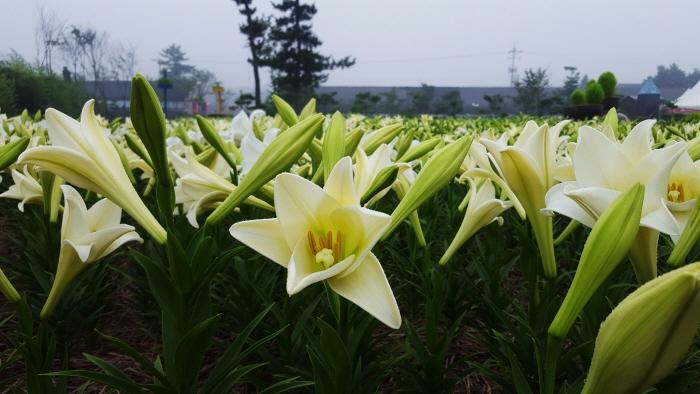 泰安百合花節(태안 백합꽃축제)