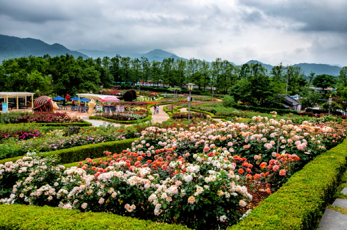 Международный фестиваль роз в уезде Коксон (곡성 세계장미축제)6
