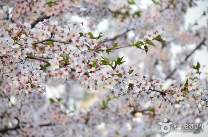 石村湖桜祭り(석촌호수 벚꽃축제)