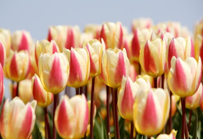 Международный фестиваль тюльпанов в Тхэане (태안 세계튤립축제)4
