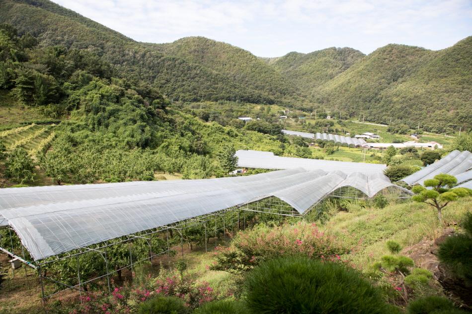 일조량이 많고 토양이 비옥한 보은에서는 비가림막 설치를 비롯해 고품질 대추를 생산하기 위해 노력한다.