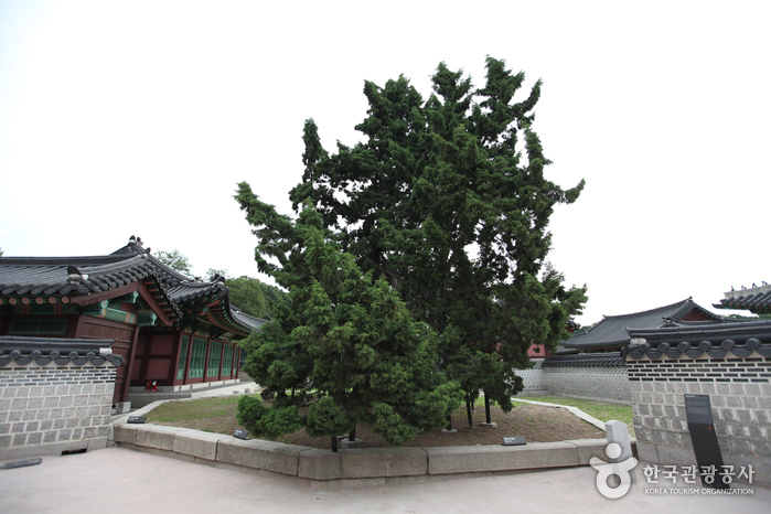 Hyangnamu Tree in Changdeokgung Palace (창덕궁 향나무)