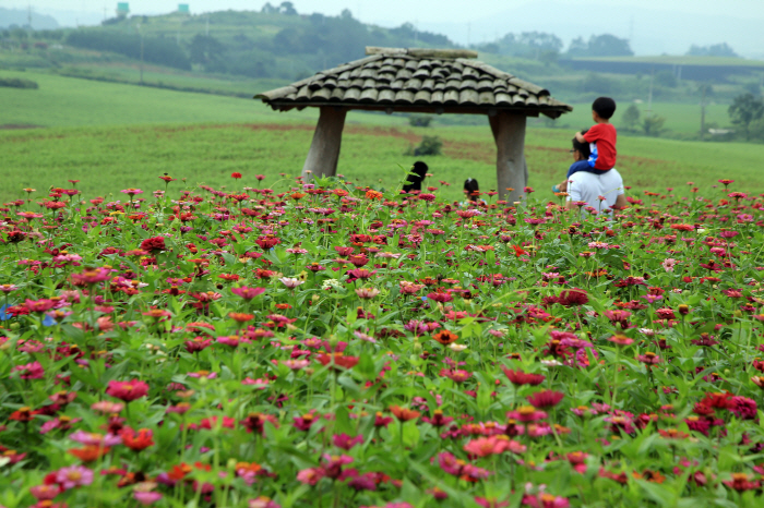 드넓은 꽃밭에서 꼭꼭 숨어라, 고창 학원농장에서 하전갯벌까지 사진