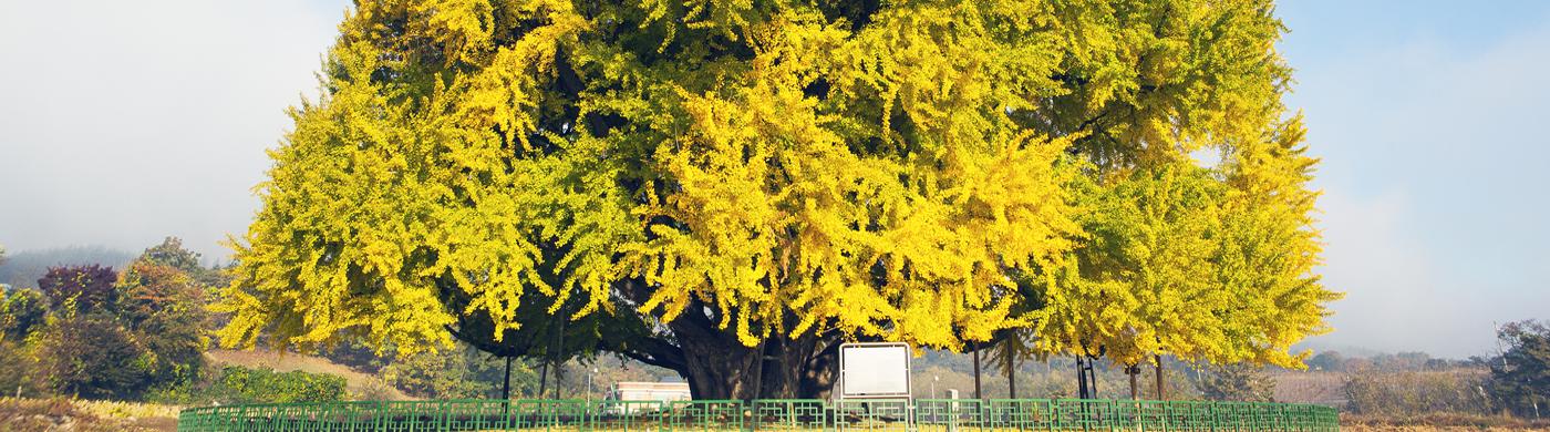 노란 단풍에 일렁이는 마음, 원주 단풍로드