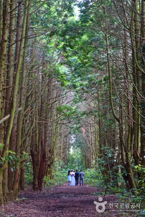 송당리 비밀의 숲, 편백나무 숲길
