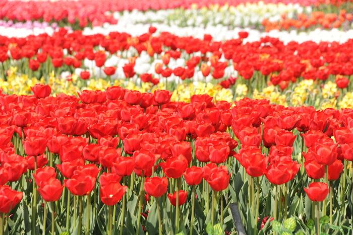 Международный фестиваль тюльпанов в Тхэане (태안 세계튤립축제)8