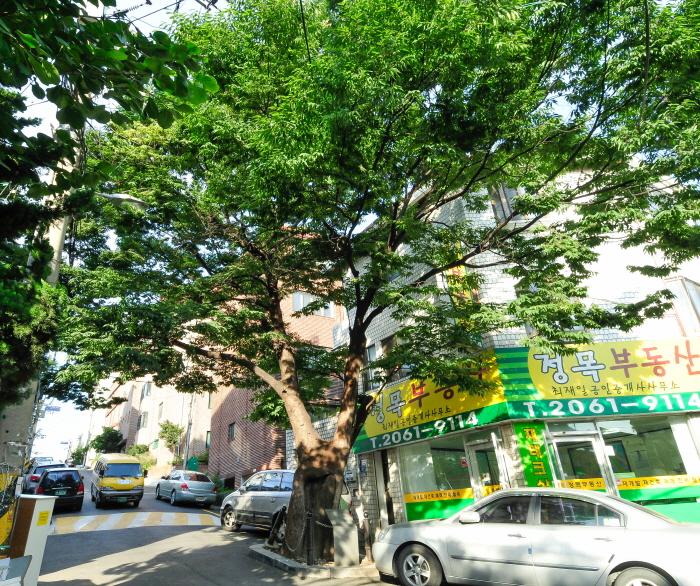 150년 수령 느티나무
