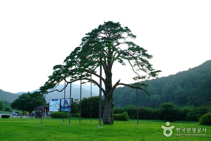 Jeongipum Pine Tree ...