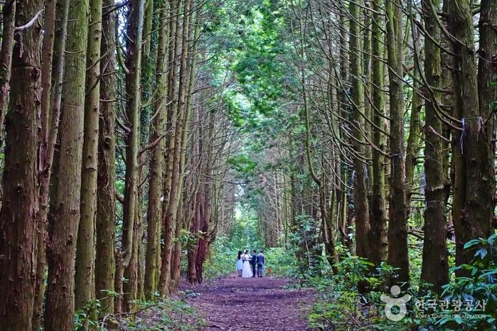 송당리의 숨은 촬영 명소, 편백나무 숲길