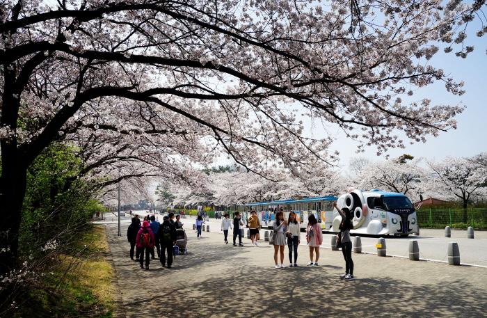 서울대공원 벚꽃축제 2018  사진10