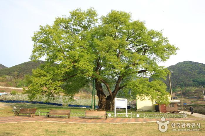 괴산 오가리 느티나무