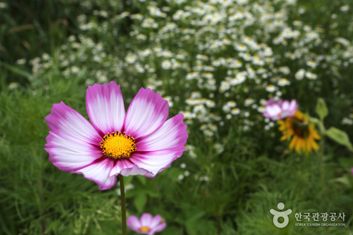 Trash: Gohan Hambaeksan Wildflower Festival (고한 함백산 야생화축제)