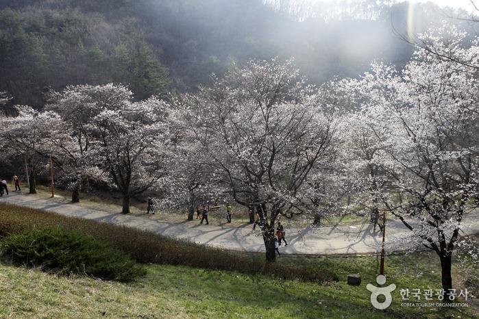 봄날의 정취가 가득 묻어나는 마이산 벚꽃길