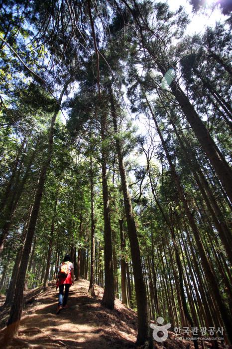 편백나무 빼곡한 활성산성 숲길