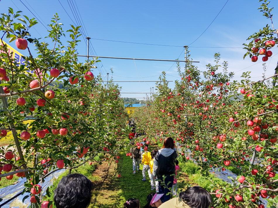 사과 수확 체험을 즐기는 사람들 _사진 제공 보은군청