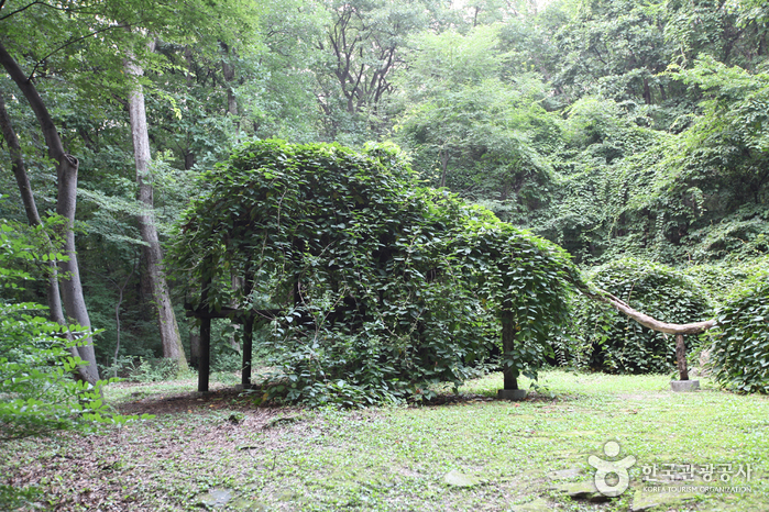 창덕궁 다래나무