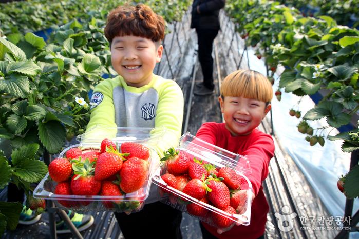 거창 딸기체험, 딸기 따고 잼 만들고 성큼성큼 봄이 와요!