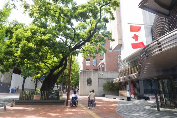 520년 된 회화나무