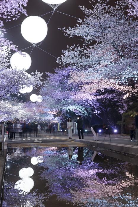 Nächtliches Kirschblütenfestival im Let's Run Park Seoul (렛츠런파크 서울 야간벚꽃축제)