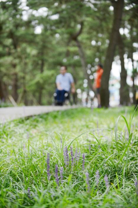 솔향기공원 산책로 소엽맥문동