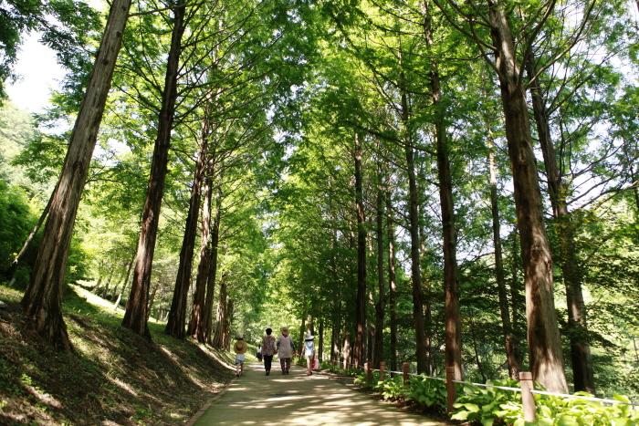미동산수목원의 메타세쿼이아 산책