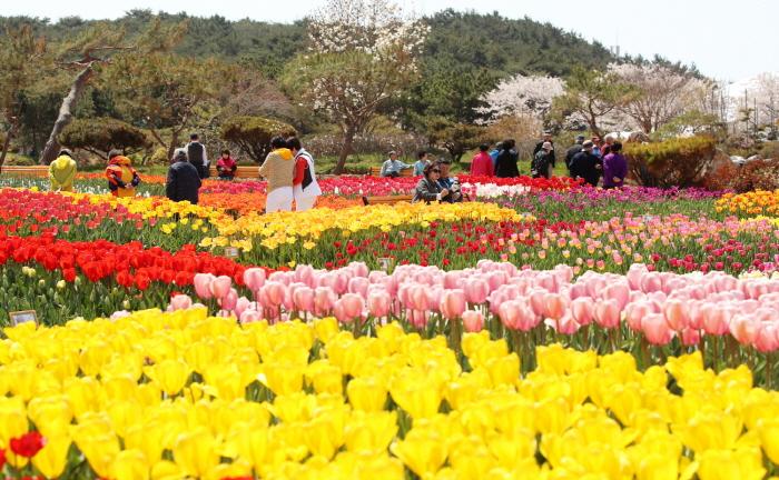 Международный фестиваль тюльпанов в Тхэане (태안 세계튤립축제)9