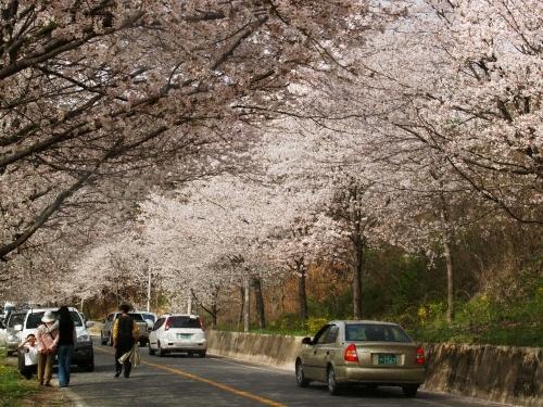 蟾津江辺桜祭り(섬진강변 벚꽃축제)