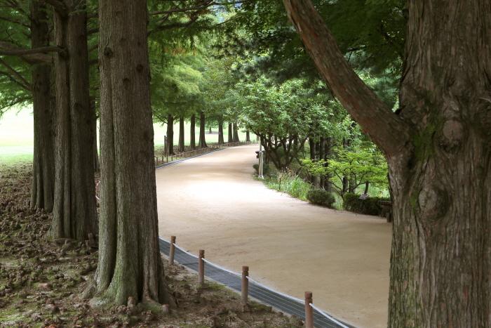 아름드리 낙엽송이 이어지는 골프장길