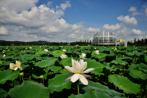 muan white lotus festival 무안연꽃축제  official korea tourism, Beautiful flower