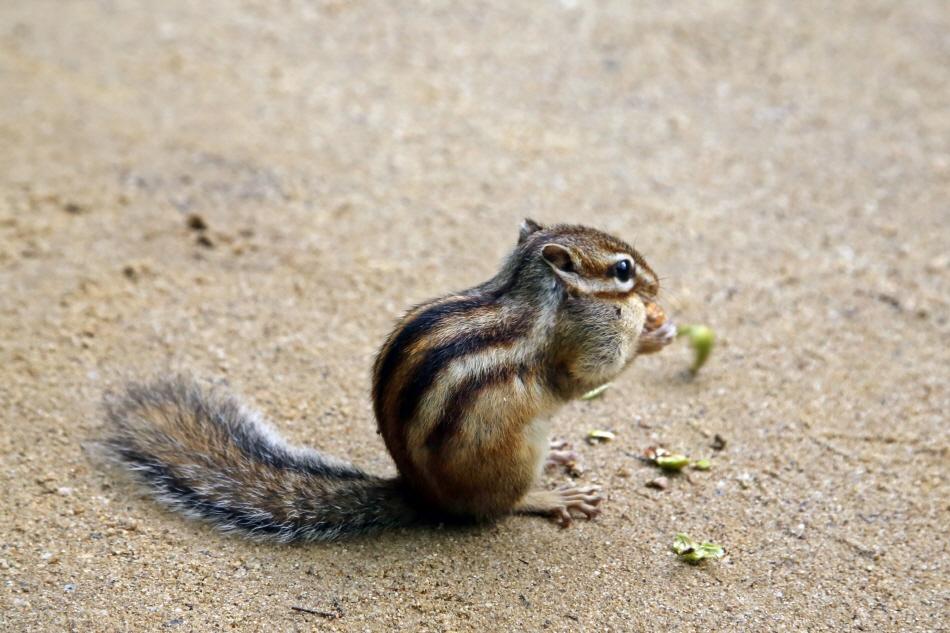 볼주머니 가득 도토리를 문 다람쥐가 귀엽다.