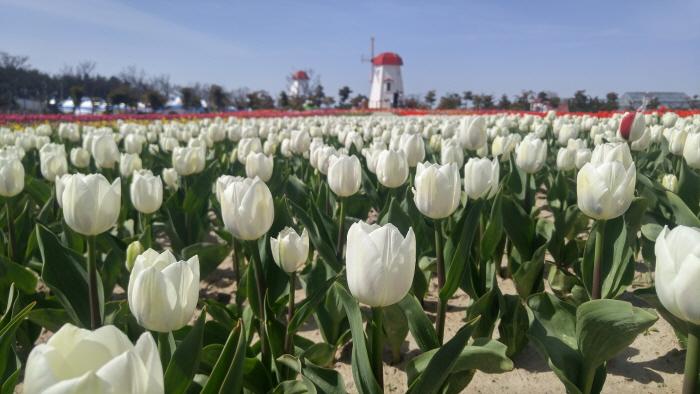 Sinan Tulip Festival (신안 튤립축제)