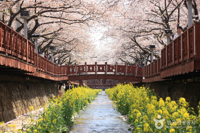 Arroyo Yeojwacheon [Flores de cerezo] (여좌천)