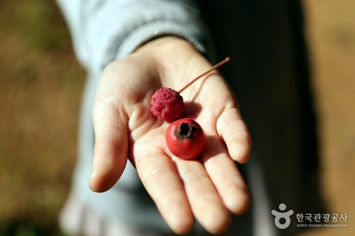먹을 수 있는 산딸나무, 산사나무 열매