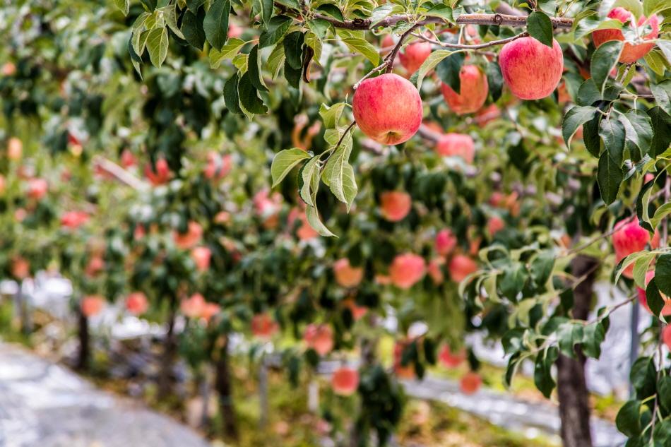 황토에서 자라 미네랄이 풍부한 보은 사과