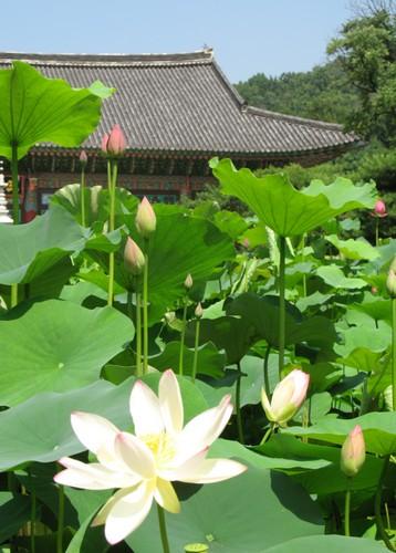 Seoul Lotus Flower Culture Festival (서울연꽃문화대축제)