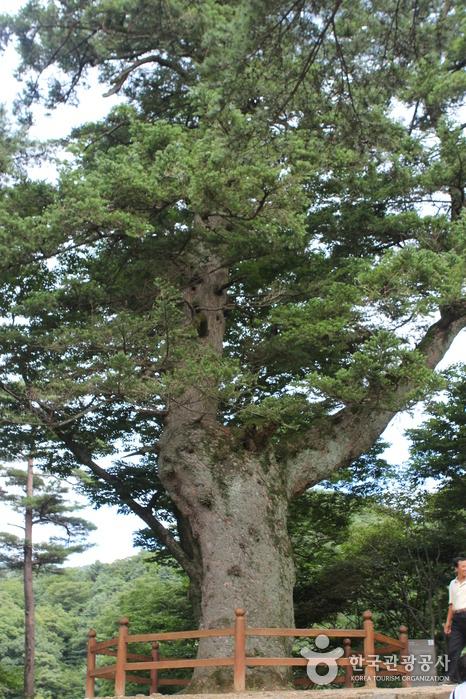 해인사 학사대. 거꾸로 서있는 듯한 전나무의 모습이 신비롭다.