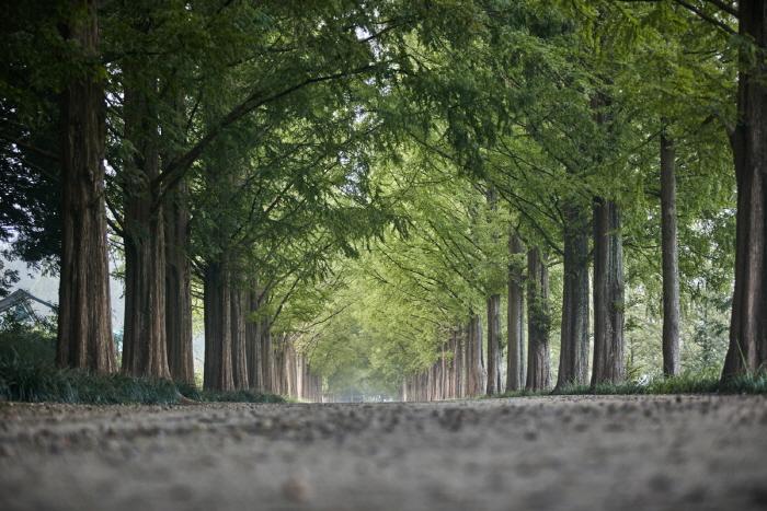 Metasequoia-Allee Damyang (담양 메타세쿼이아길)