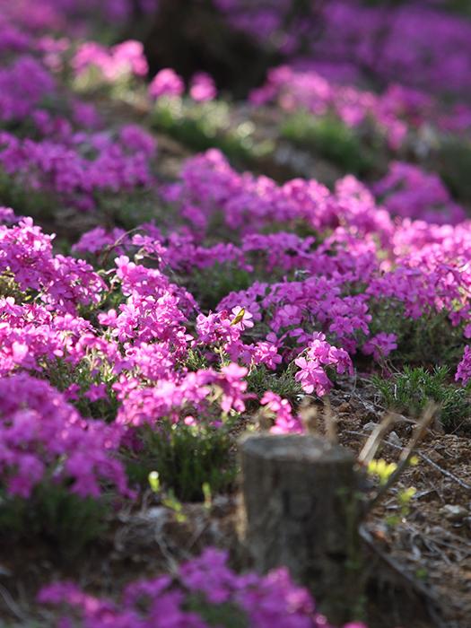 진안의 봄은 꽃길이어라