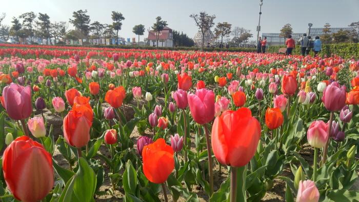 Shinan Tulpenfestiva...