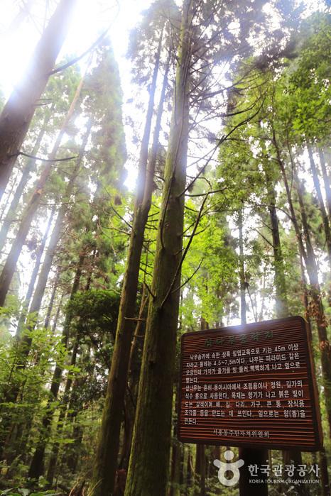 하늘 높이 쭉쭉 뻗은 삼나무 군락지