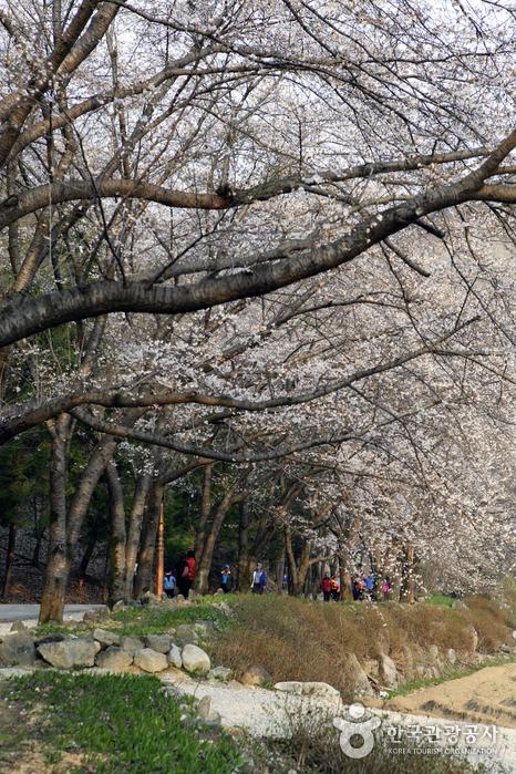 초록과 연분홍 벚꽃이 조화를 이뤄 봄을 장식한다.